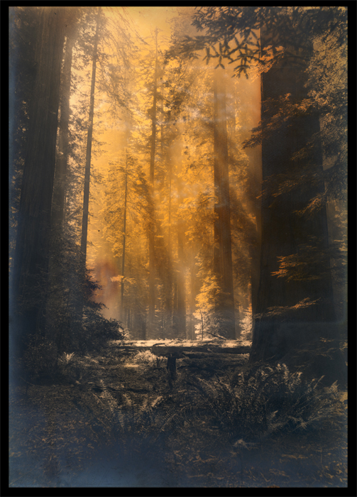 Redwoods.California #1032