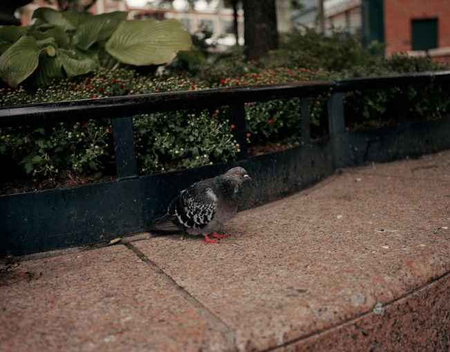 10 Red-Eyed Pigeon Staring
