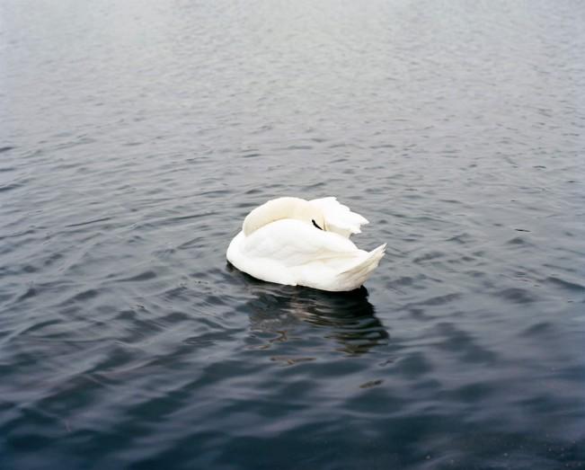 Dana-Stirling-_-swan