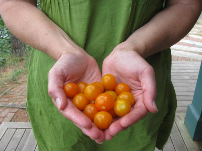 cherrytoms in hand closeup