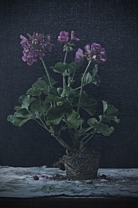 pink_geranium