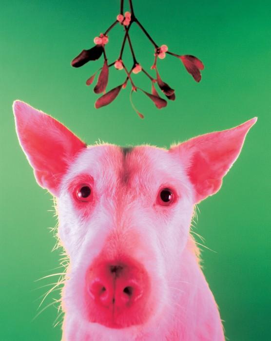 Pigdog+1994