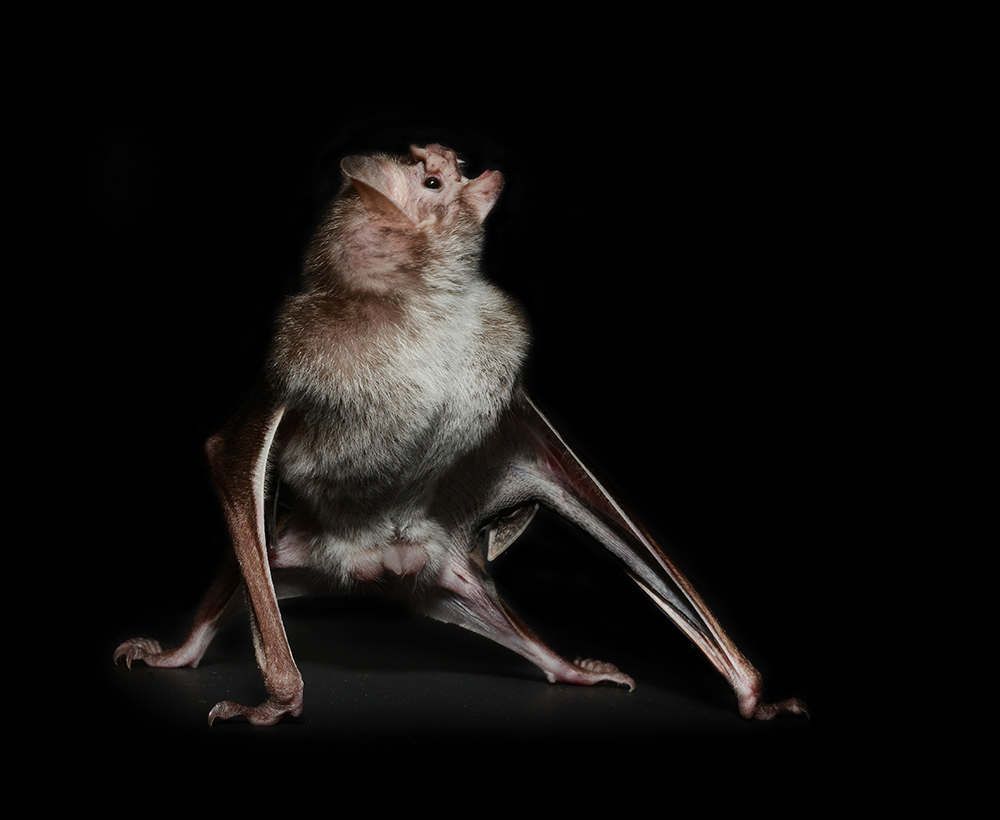 if i were a vampire bat The common vampire bat is a flying mammal on display at zooamerica  some  researchers believe that the vampire bat was a rarer species prior to the  they  can spread many diseases, vampire bats have been widely regarded as pests.