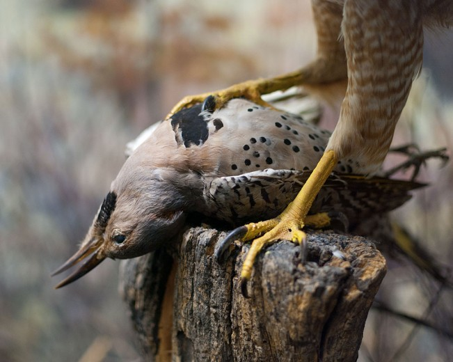 Northern Flicker, from the series Another Death