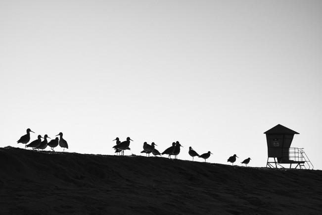 harvard_shorebirds_hollywoodbeach
