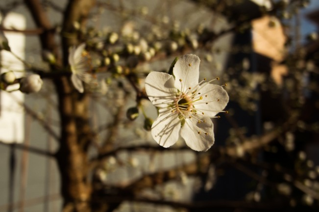 150222-9591__Second Year Blossom_NicholasTravers