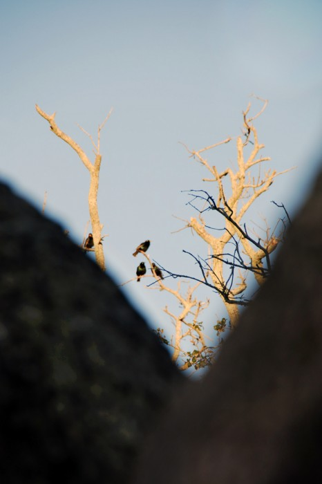 Four Purple Martin birds are viewed from behind a tree in this color photograph by Jan Arrigo.