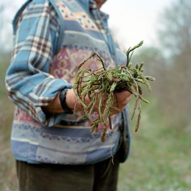 Croatia, Labinci-Santa Domenica. Wild Asparagus