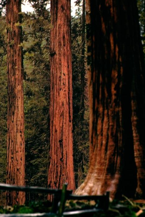 H1. sequoias