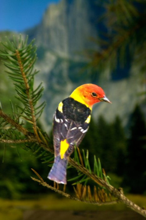 H5. western tanager