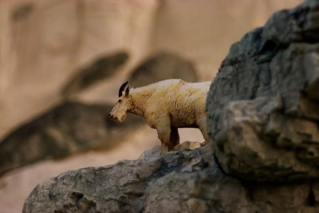 K3. mountain goat