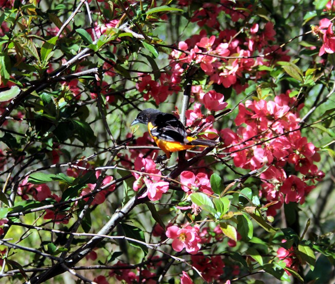 Mickle_Oriole_Crabapple