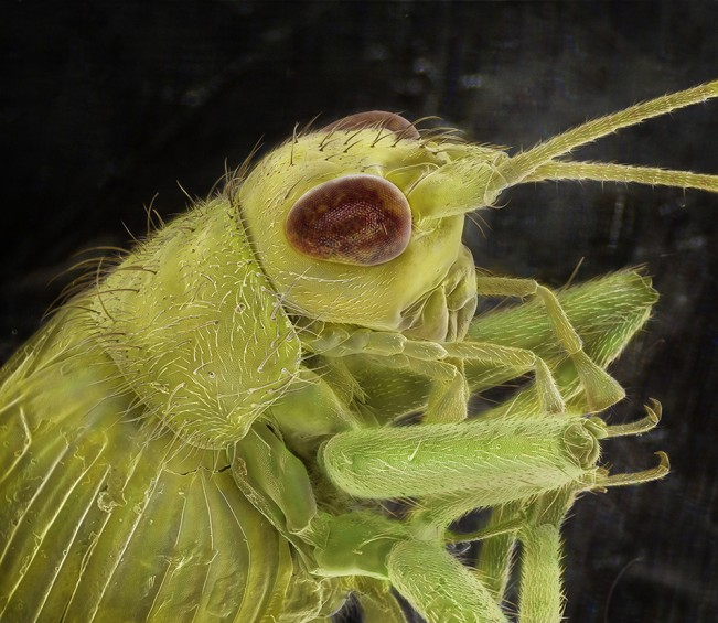 Tree_Cricket