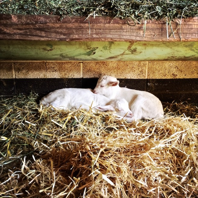 new born twin goats