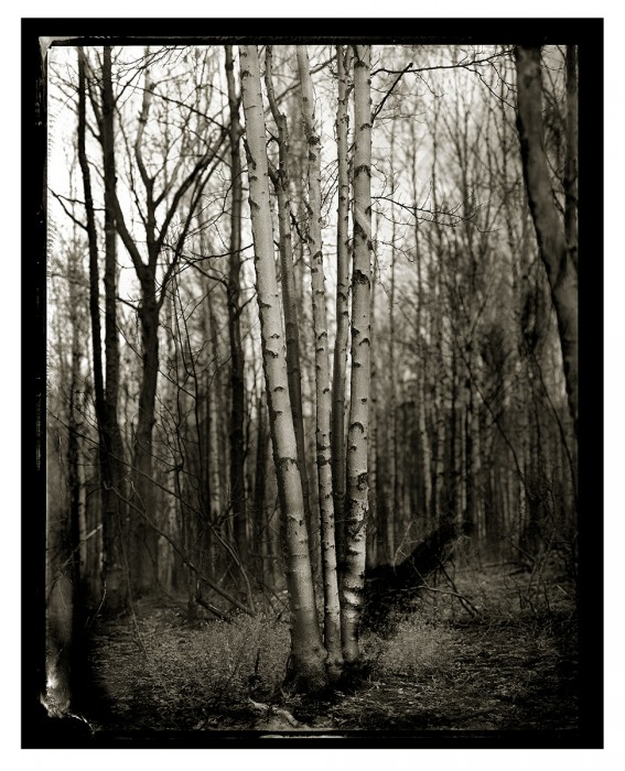 skinny_trees_three_birch