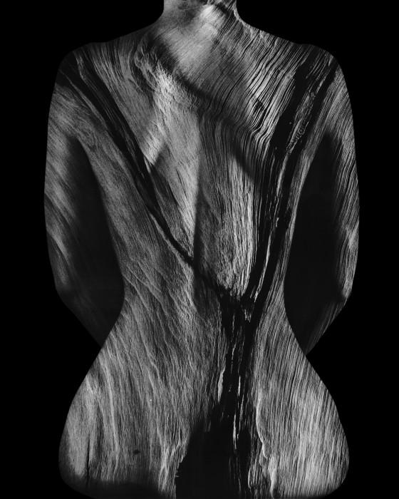 Pinus longeava 0-23.2 Steve Engelmann - Ancient Wood