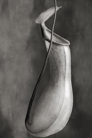 Nepenthes Ventricosa © Beth Moon