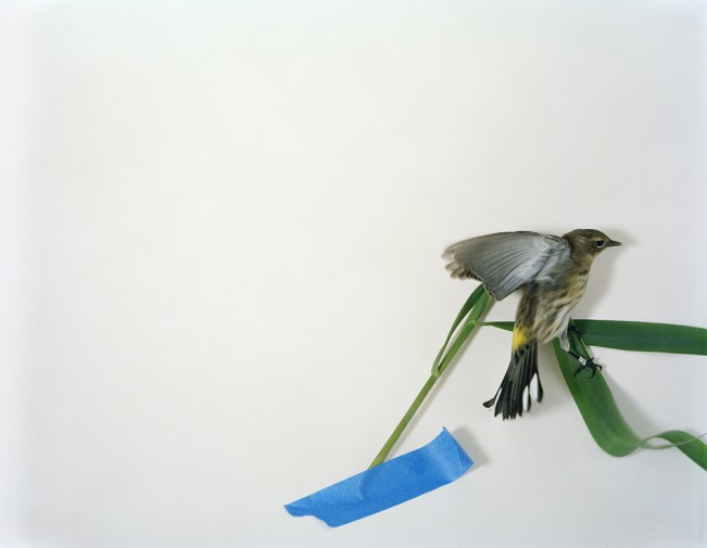 M1136UL_2011_Blue tape warbler 001