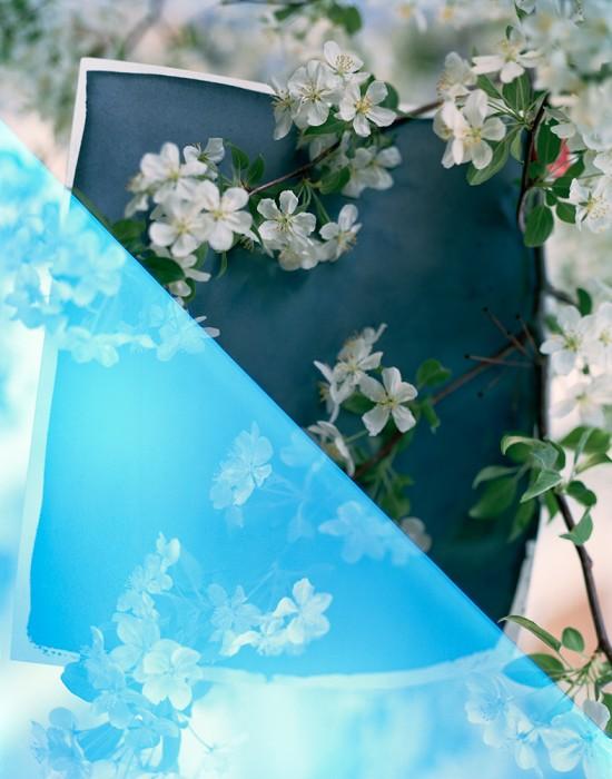 M1184BL_2012_cyanotype_blossoms 001