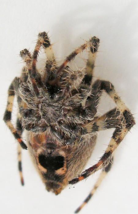 SPIDER MASK LS