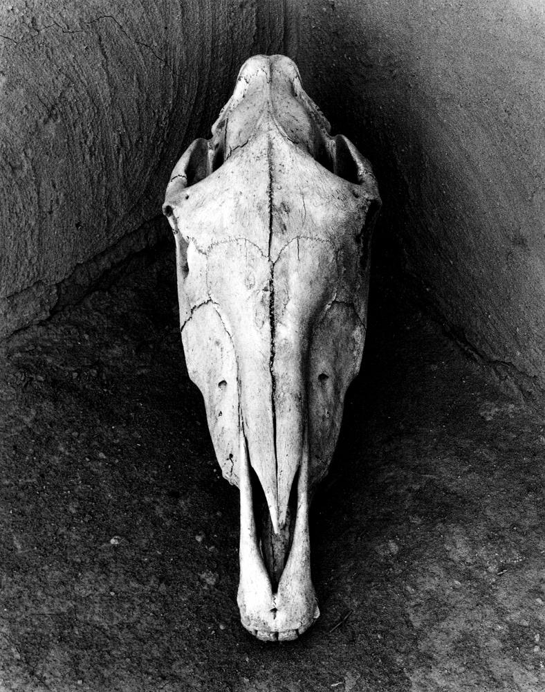 Porter Horse Skull