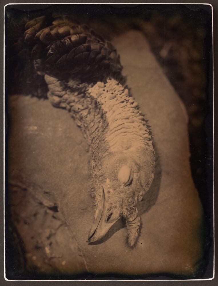 Gawel_TurkeyHead_2014