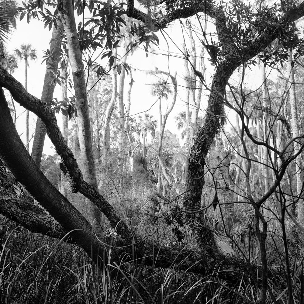 #2_Fallen Oak & Dead Trees, Bear Island