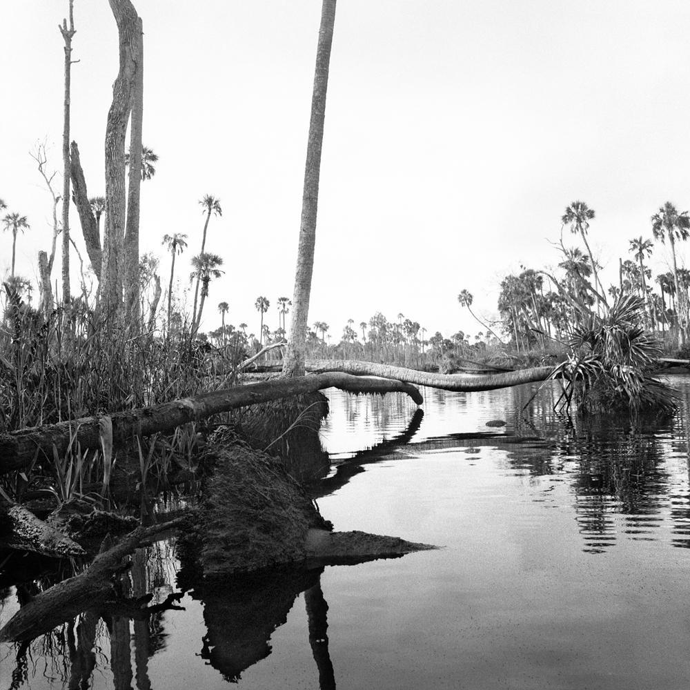 #4_Fallen Palms & Stumps, Upper Crawford Creek