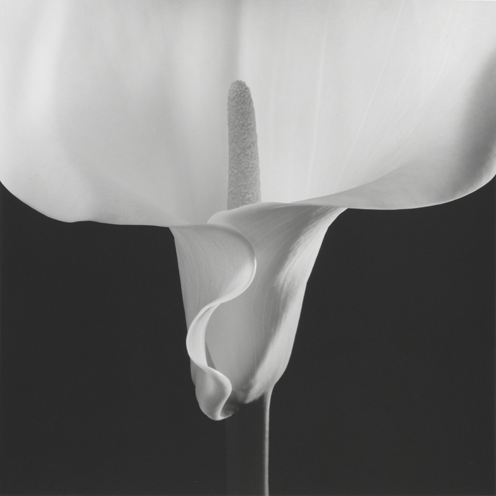 Calla Lily; Robert Mapplethorpe (American, 1946 - 1989); New York, New York, United States; negative 1988; print 1990; Gelatin silver print; 49 x 49 cm (19 5/16 x 19 5/16 in.); 2011.9.26