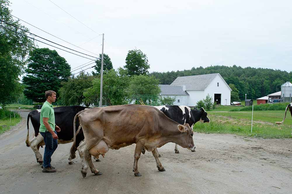 American farmer Ross Thurber is accompanying his cows to the barn after a day of grazing, Lilac Ridge Farm, June 2009, from the book The Other Farm.
