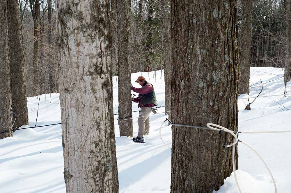 When, at the end of winter, the days are getting warmer, but it is still freezing during the night, the sap in the trees will start to flow again, and maple syrup season starts. Farmhand Garold Rhodes drills tiny holes into the trunks of sugar maple trees and hammers drain taps into them, which he then connects to anetwork of plastic tubes. The tree's sap will drip from the taps, encouraged by a vacuum pump, and flow through the tubes to holding tubs in thesugar house. There it will be boiled down to maple syrup, a culinary specialty of New England and eastern Canada. Lilac Ridge Farm, May 2011, from the book The Other Farm