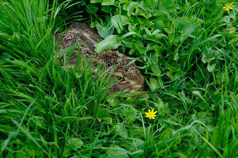 A young hare is hiding amid grass and lesser celandine, De Beekhoeve, April 2009, from the book The Other Farm