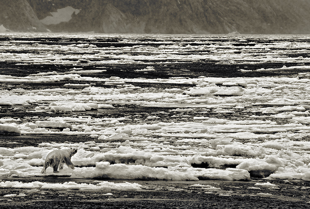 page 66-67, (30) Polar Bear, Ice flows, Cumberland Sound, Baffin Island, Nunavut copya