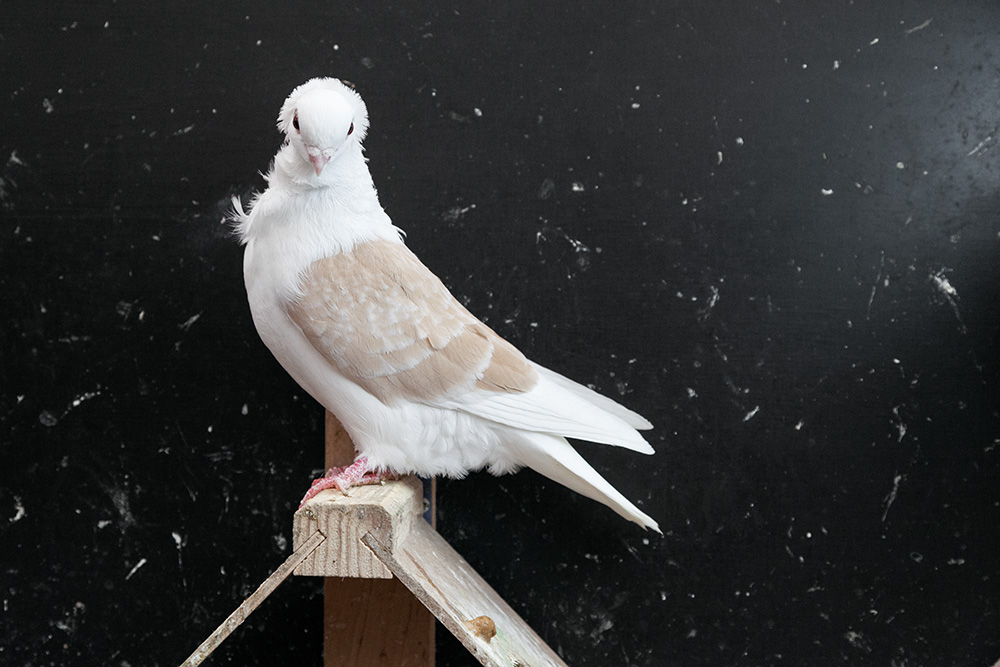 the-creation-of-a-pigeon
