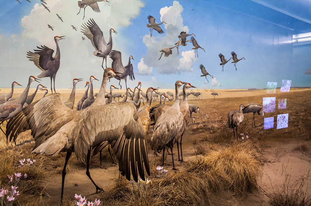 Flock, Bell Museum of Natural History, Minneapolis, Minnesota 2016