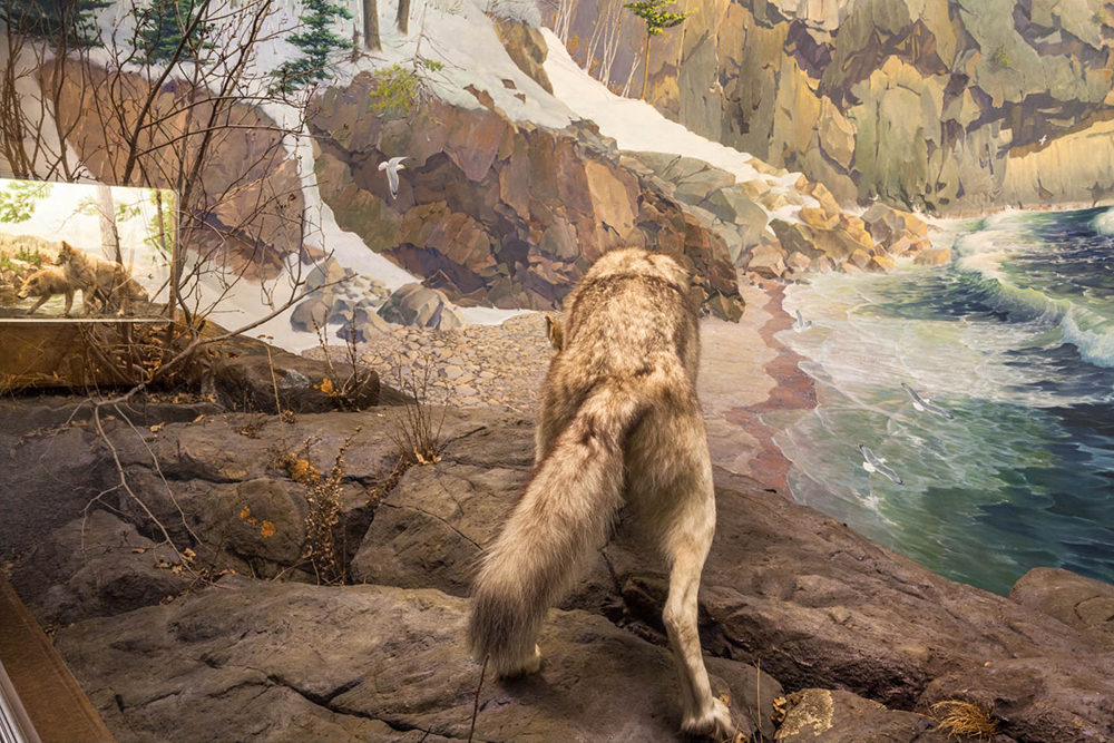 Wolf, Bell Museum of Natural History, Minneapolis, Minnesota 2015