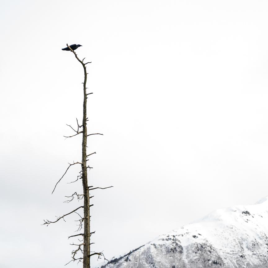 (13) Unitled (raven)