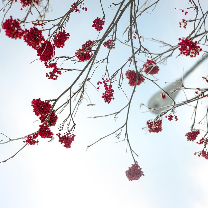 (8) Unitled (Berries)