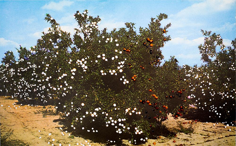 orangetree_1000pxSFW