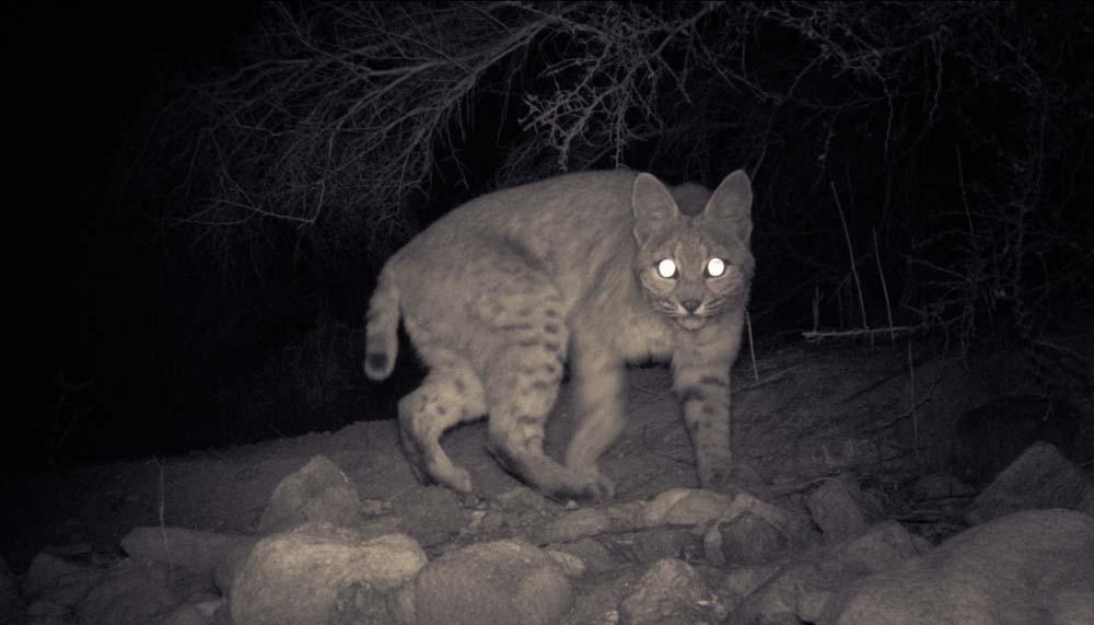 04_Bobcat