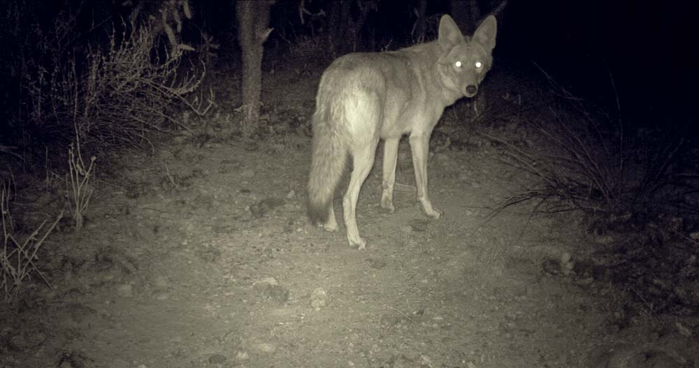 07_Coyote-a