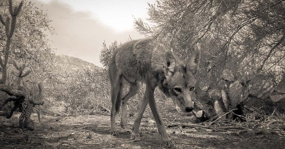 12_Coyote