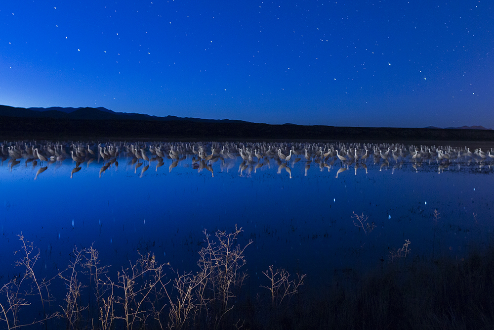 Sandhill cranes roosting below the stars, Bosque del Apache NWR, New Mexico