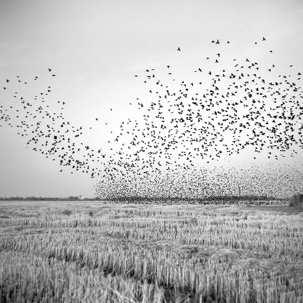 MOUND BAYOU, MS - DECEMBER 23:  A flock of black birds swarm over a harvested field near Mound Bayou, Mississippi, on Thursday, December 23, 2010.