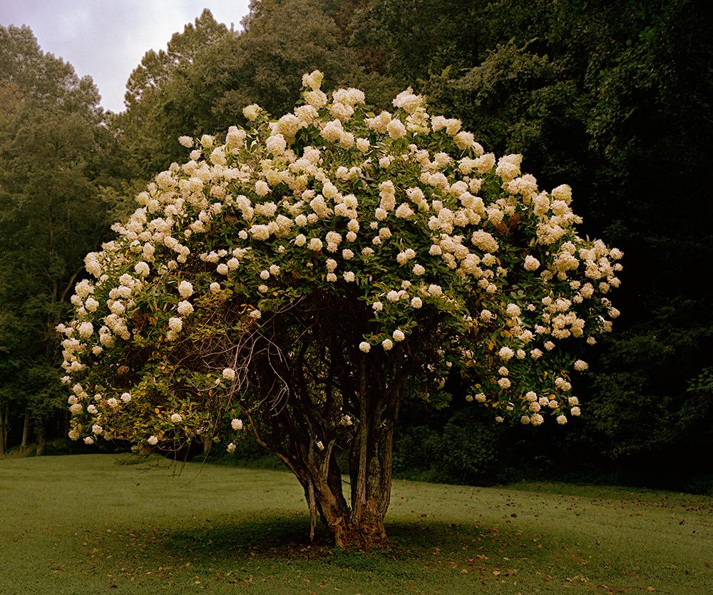 magnolia tree 001