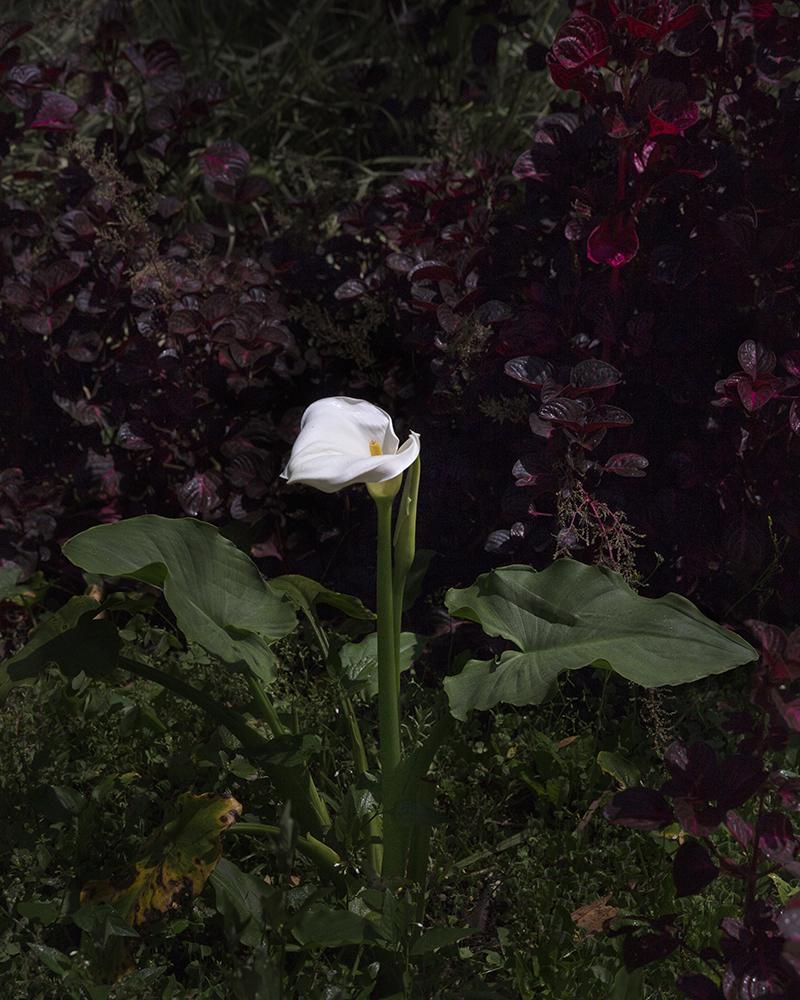 Andersen_ArumLily-Imaculado_Yale
