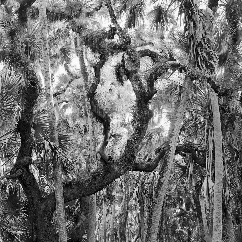 #5_Oak & Palms, Myakka River State Park