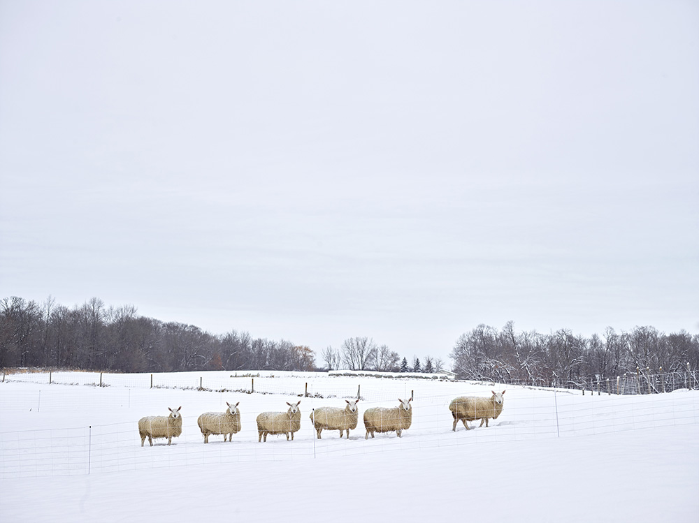 Counting Sheep, Hennepin County, Minnesota, USA