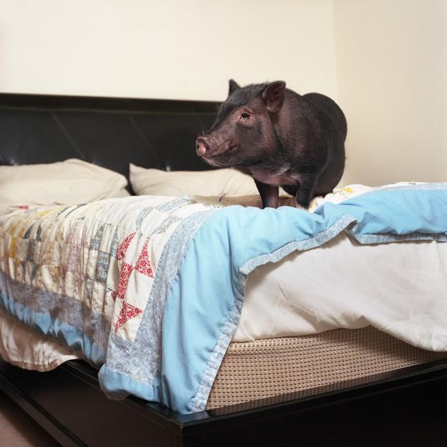 Dozer (Potbellied Pig)
