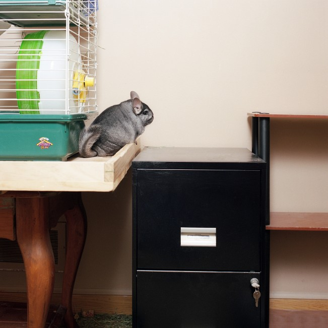 Felix (Chinchilla)